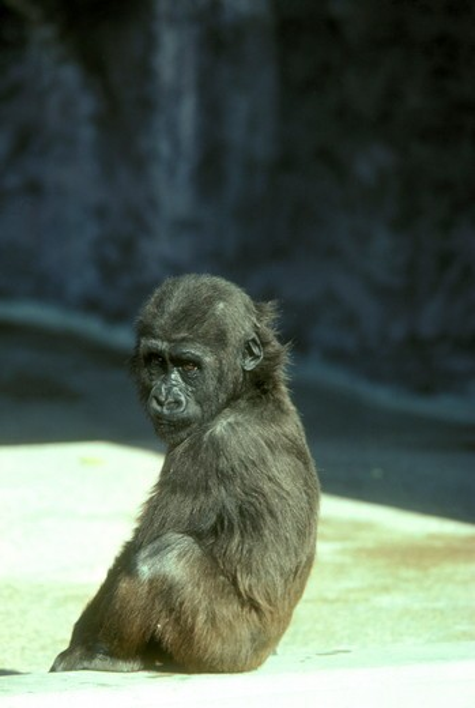 Stock Photo: 4179-21774 Lowland Baby Gorilla (G. gorilla) Phoenix Zoo