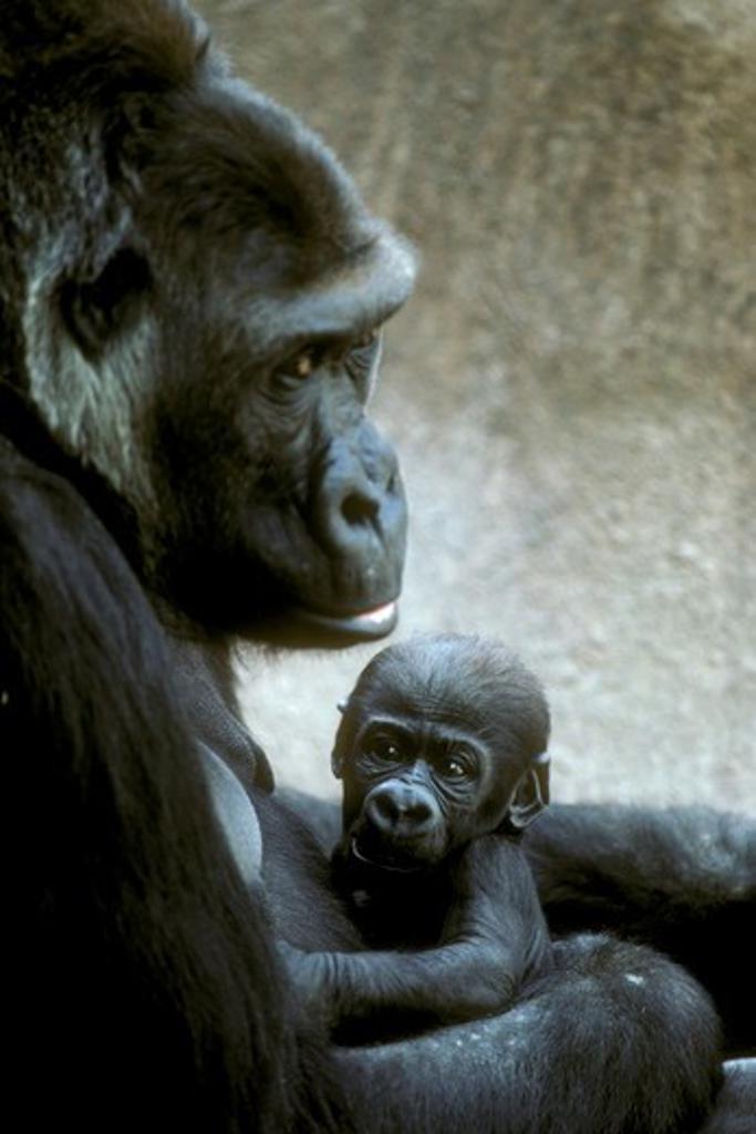 Stock Photo: 4179-21776 Western Lowland Gorilla (Gorilla gorilla gorilla) Wild Animal Park - CA