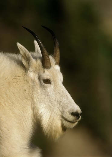Mountain Goat (Oreamnos americanus) Logan Pass, Glacier NP, MT, Montana : Stock Photo