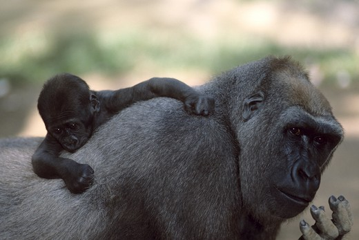 Stock Photo: 4179-21824 Lowland Gorilla with young, (Gorilla gorilla)