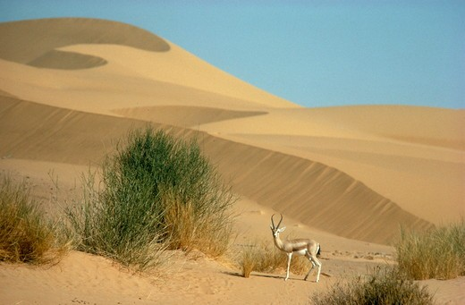 Stock Photo: 4179-21862 Dorcas Gazelle great male (Gazella dorcas) on sand dunes - Sahara Niger Air