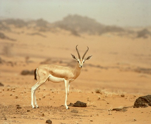 Stock Photo: 4179-21863 Dorcas Gazelle great male (Gazella dorcas) thick horns Sahara Niger Tenere