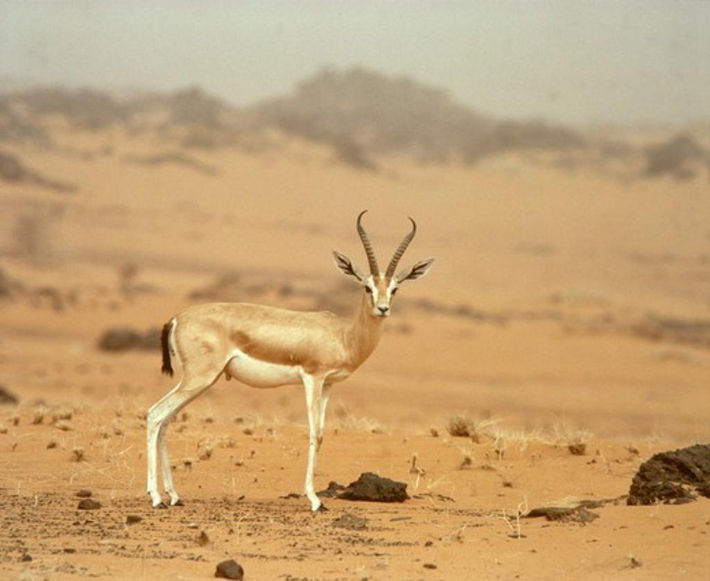 Dorcas Gazelle great male (Gazella dorcas) thick horns Sahara Niger Tenere : Stock Photo