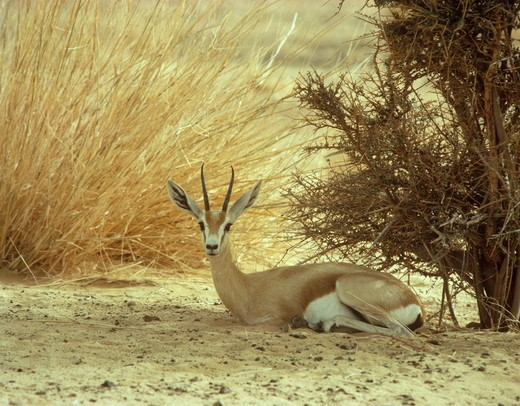Stock Photo: 4179-21864 Dorcas Gazelle adult female (Gazella dorcas) thin horns Sahara Niger Tenere