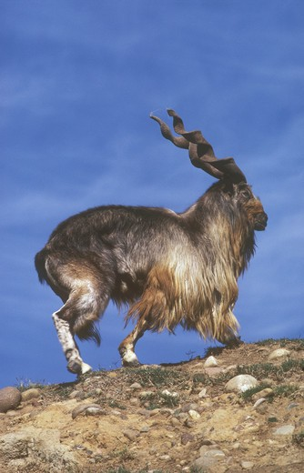 Stock Photo: 4179-21875 Turkomen Markhor, wild goat,  male, (Capra falconeri heptneri) San Diego Zoo, CA