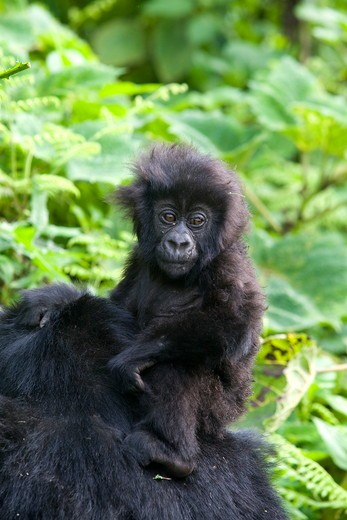Mountain Gorilla (Gorilla beringei beringei), Endangered Volcanoes National Park Ruhengeri Virunga Mountains Rwanda : Stock Photo