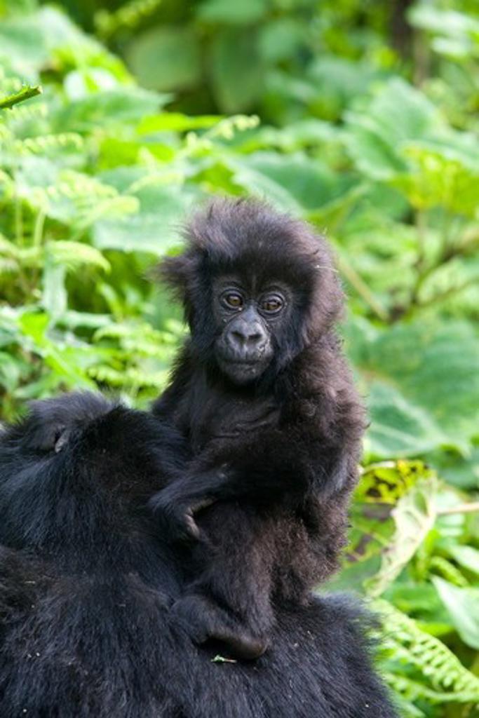 Stock Photo: 4179-21882 Mountain Gorilla (Gorilla beringei beringei), Endangered Volcanoes National Park Ruhengeri Virunga Mountains Rwanda