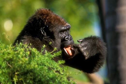 Lowland Gorilla, female, San Diego Zoo : Stock Photo