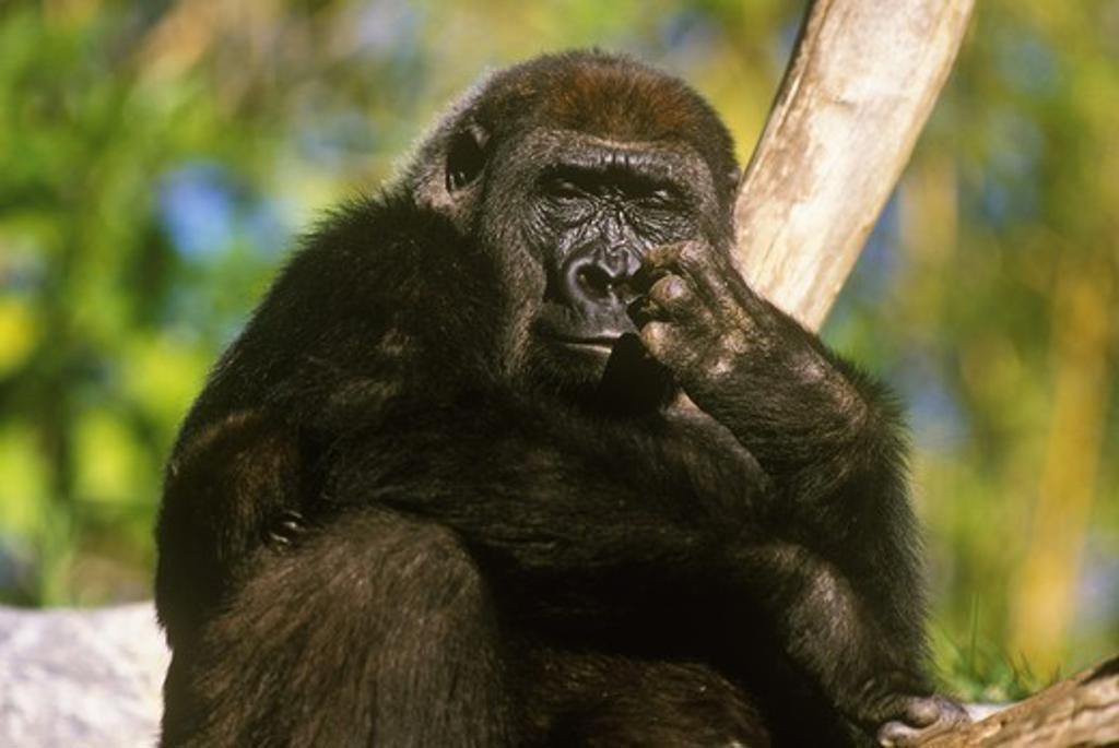 Stock Photo: 4179-21910 Lowland Gorilla (Gorilla g. gorilla) Young San Diego Zoo, California