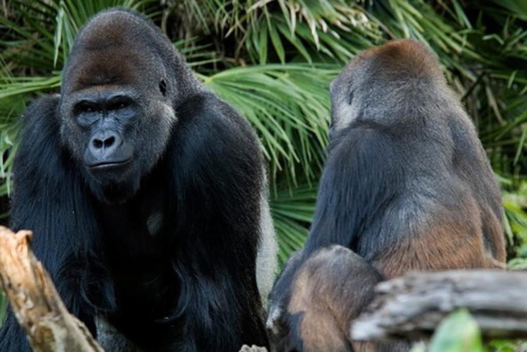 Stock Photo: 4179-21921 Western Lowland Gorilla silverback & female, Gorilla gorilla gorilla, San Diego Zoo, CA, Dec 2006