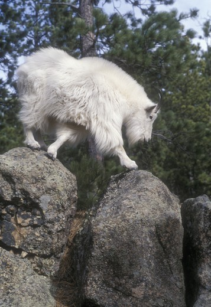 Mountain Goat billy (Oreamnos americanus) Black Hills National Forest, SD : Stock Photo