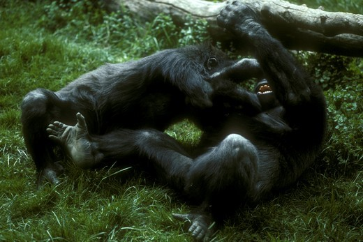 Young lowland Gorillas wrestling - (Gorilla g. gorilla) West Africa : Stock Photo