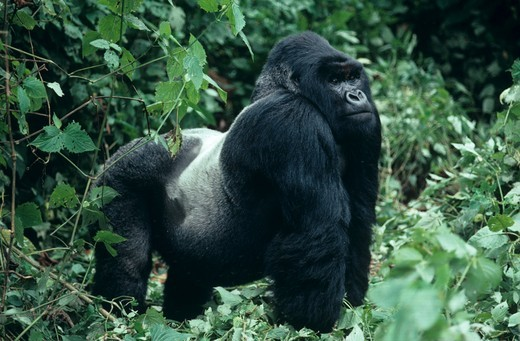 Mountain Gorilla, Silverback (Gorilla g. beringei) male. Bukima group, Virgunga NP : Stock Photo