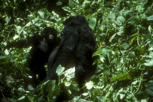 Stock Photo: 4179-22085 Mountain Gorilla w/baby (Gorilla gorilla beringei) Virunga NP, Zaire
