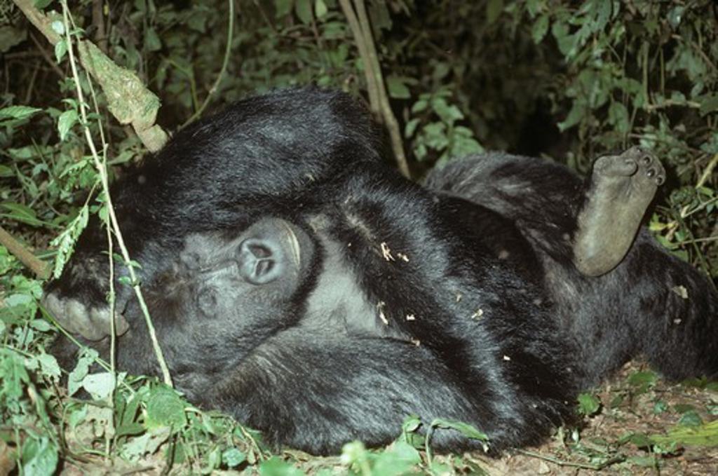 Eastern Lowland Gorilla (Gorilla g graueri), male silverback Naninja, Zaire : Stock Photo