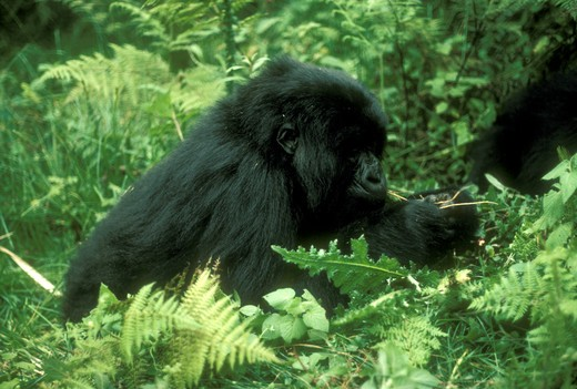 Stock Photo: 4179-22092 Mountain Gorilla Eating Thistle Roots, Volcanoes NP, Rwanda (Gorilla gorilla beringei)'