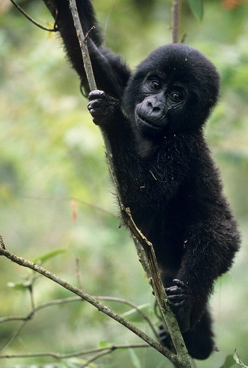 2 year old Mountain Gorilla climbing (Gorilla gorilla beringei) - Uganda : Stock Photo