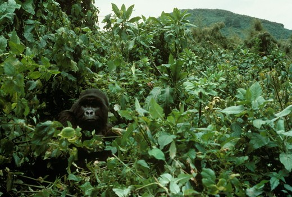 Silverback Mountain Gorilla (Gorilla gorilla beringei)  P.N. Des Volcans, Rwanda : Stock Photo