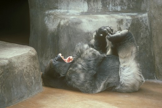 Stock Photo: 4179-22191 Lowland Gorilla (Gorilla  gorilla gorilla) tickling his feet, San Diego Zoo