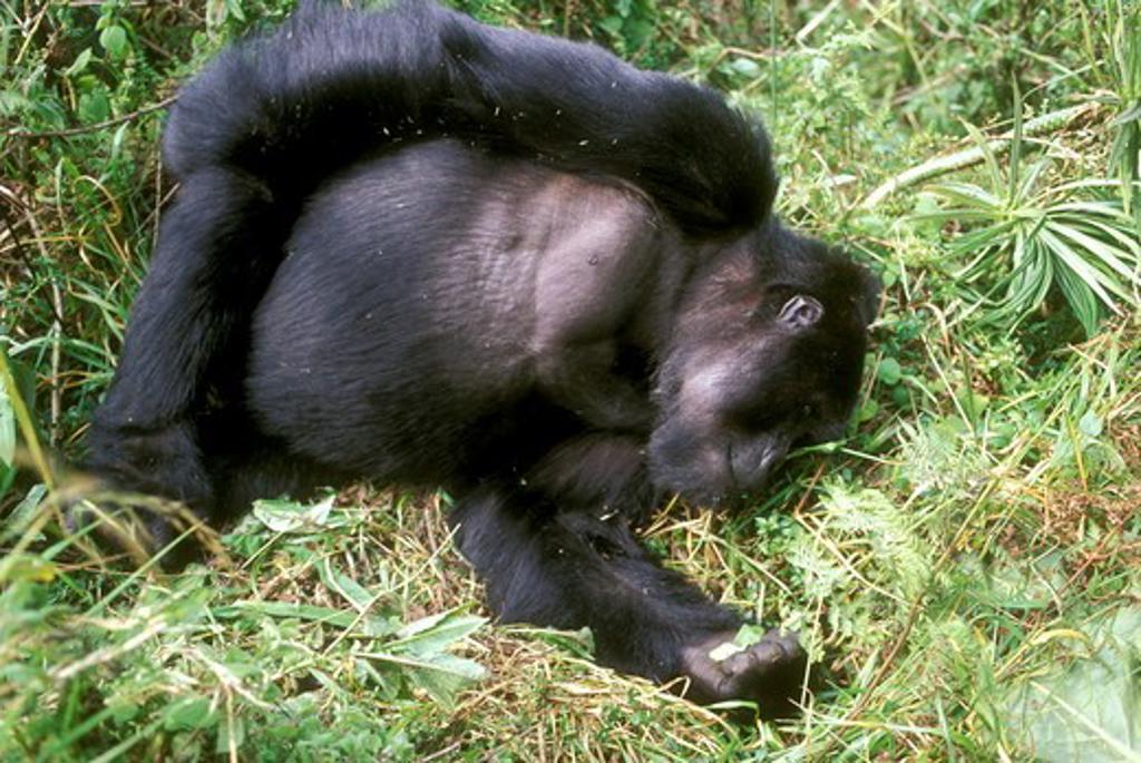 Stock Photo: 4179-22193 Sleeping Mountain Gorilla (Gorilla gorilla berengei) Parc des Volcans, Rwanda
