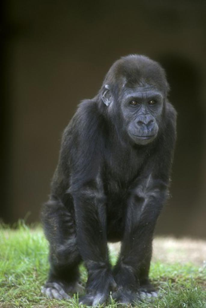 Baby Lowland Gorilla (Gorilla gorilla gorilla) : Stock Photo