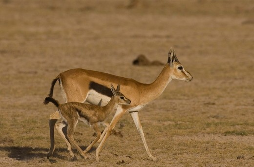 Stock Photo: 4179-22213 Thomson's Gazelle and baby, Amboseli National Park, Kenya