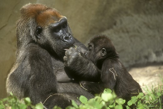 Stock Photo: 4179-22233 Western Gorilla, female, with young