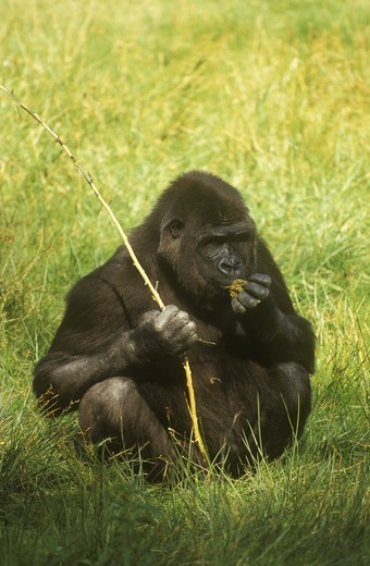 Stock Photo: 4179-22278 Lowland Gorilla (G. gorilla) IC, Africa