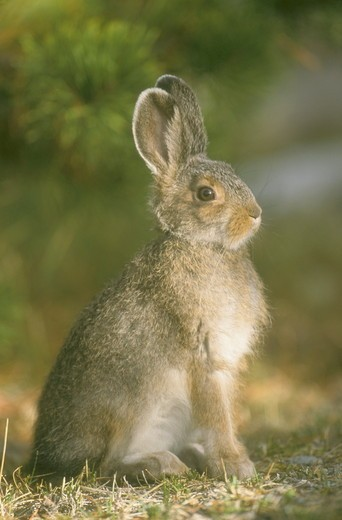 Snowshoe Hare, juvenile, starting to turn white for Winter, Yellowstone NP, WY : Stock Photo
