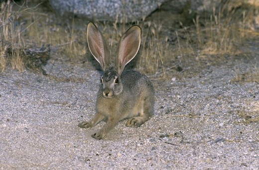 Stock Photo: 4179-22323 Black-tailed hare (Lepus californicus) Anza-Borrega SP, CA