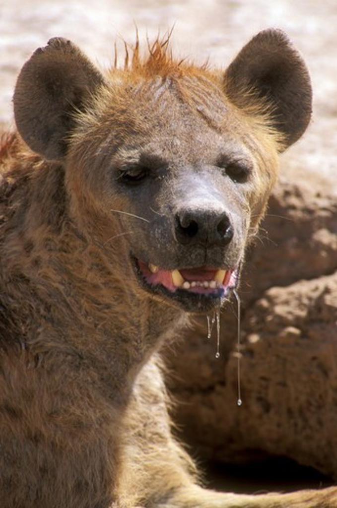 Stock Photo: 4179-22352 Spotted Hyena drooling female (Crocuta crocuta) Amboseli Natl Park - Kenya
