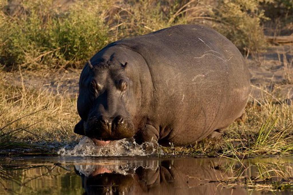 Stock Photo: 4179-22378 Hippopotamus (Hippopotamus amphibius) at waters edge