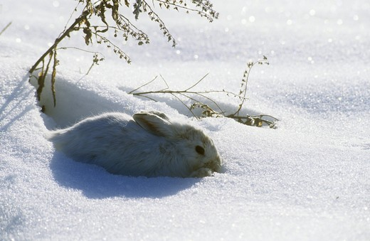 Stock Photo: 4179-22494 Snowshoe Hare (Lepus americanus) - Winter Pelage o. America/MT