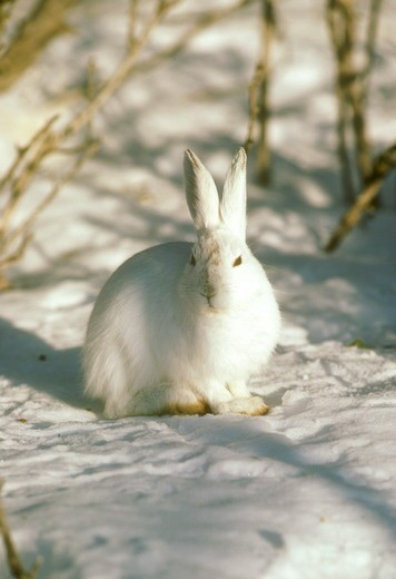 Stock Photo: 4179-22537 Snowshoe Hare in Winter