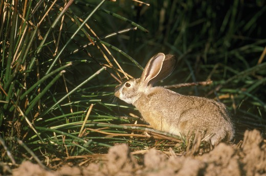 Stock Photo: 4179-22551 Indian Hare (Lepus nigricollis) Ranthambor, India