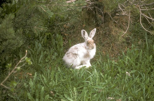 Snowshoe Hare White to Brown : Stock Photo