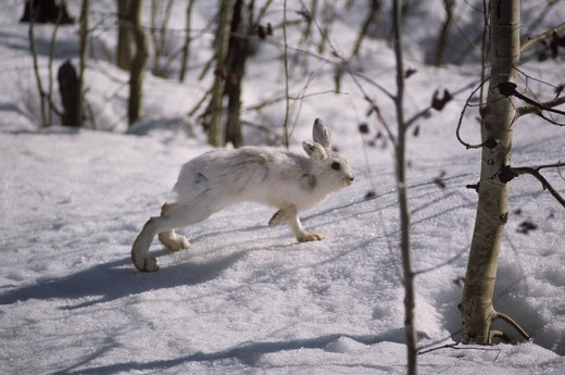 Stock Photo: 4179-22569 Snowshoe Hare running