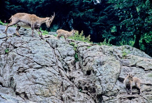 Stock Photo: 4179-22672 Alpine Ibex (Capra Ibex) Mother And Kids, Black Forest, Germany