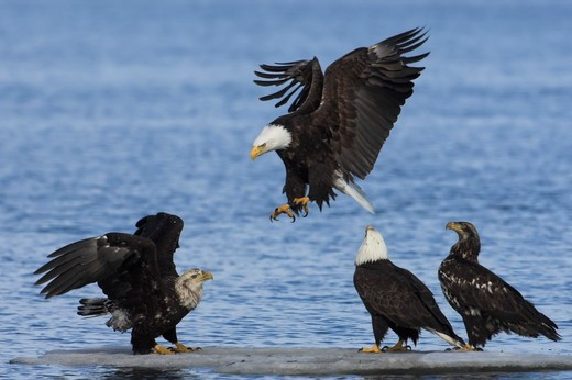 Stock Photo: 4179-2282 Bald Eagle (Haliaeetus leucocephalus) immature, juvenile, and adult eagles on ice flow, in flight, landing, Homer, Alaska, 3/27/06, Digital Capture