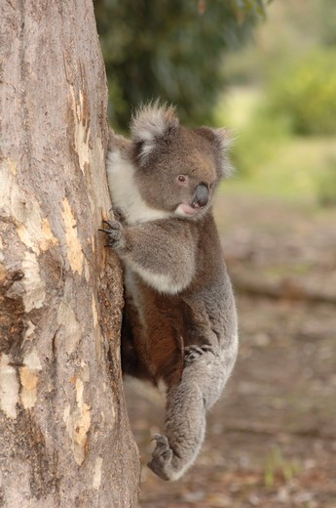 Stock Photo: 4179-22907 Koala climbing down a eucalyptus tree (Phascolarctos cinereus) Kangaroo Island, Australia