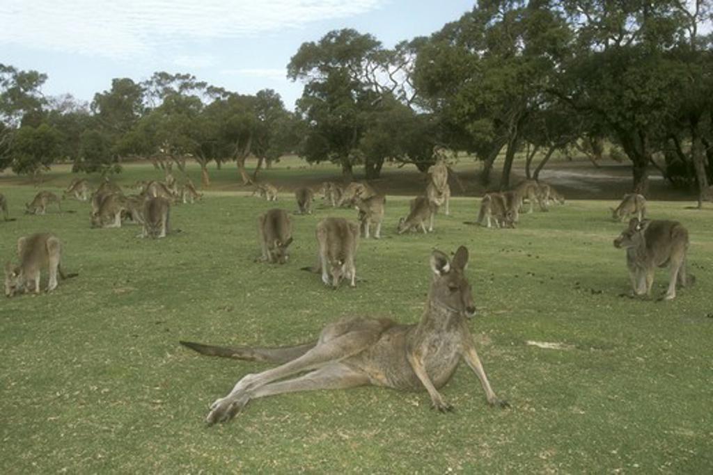 Stock Photo: 4179-23000 Eastern Grey Kangaroos on Golf Course (Macropus giganteus), Victoria, Australia
