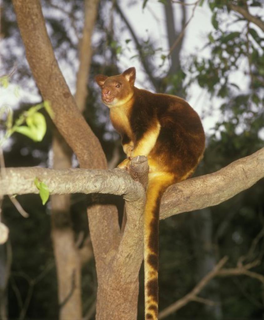 Bennett's Tree Kangaroo (Dendrolagus bennettianus) Australia : Stock Photo