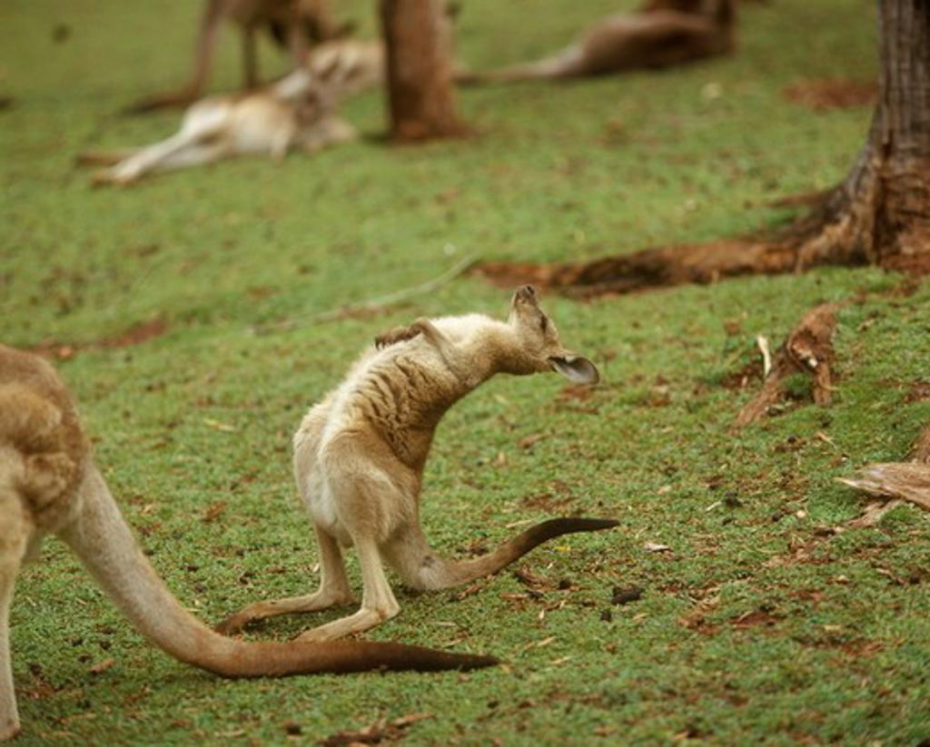 Young Grey Kangaroo doing a back bend : Stock Photo
