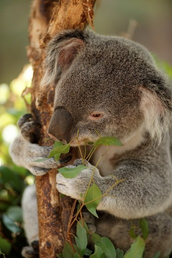 Stock Photo: 4179-23057 Queensland Koala feeding on eucalyptus branches (Phascolarctos cinereus adustus) San Diego Zoo, California