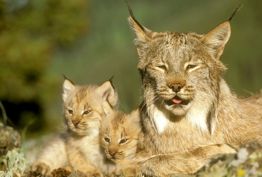 Female Lynx w/ Kittens (Felis lynx) Gallatin County, MN (CC) : Stock Photo