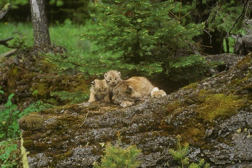 Canada Lynx & Kittens (Lynx canadensis), Montana : Stock Photo