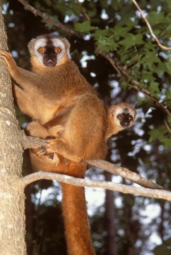 Stock Photo: 4179-23161 Red-Fronted Lemur w/ infant (Eulemur fulvus rufus)