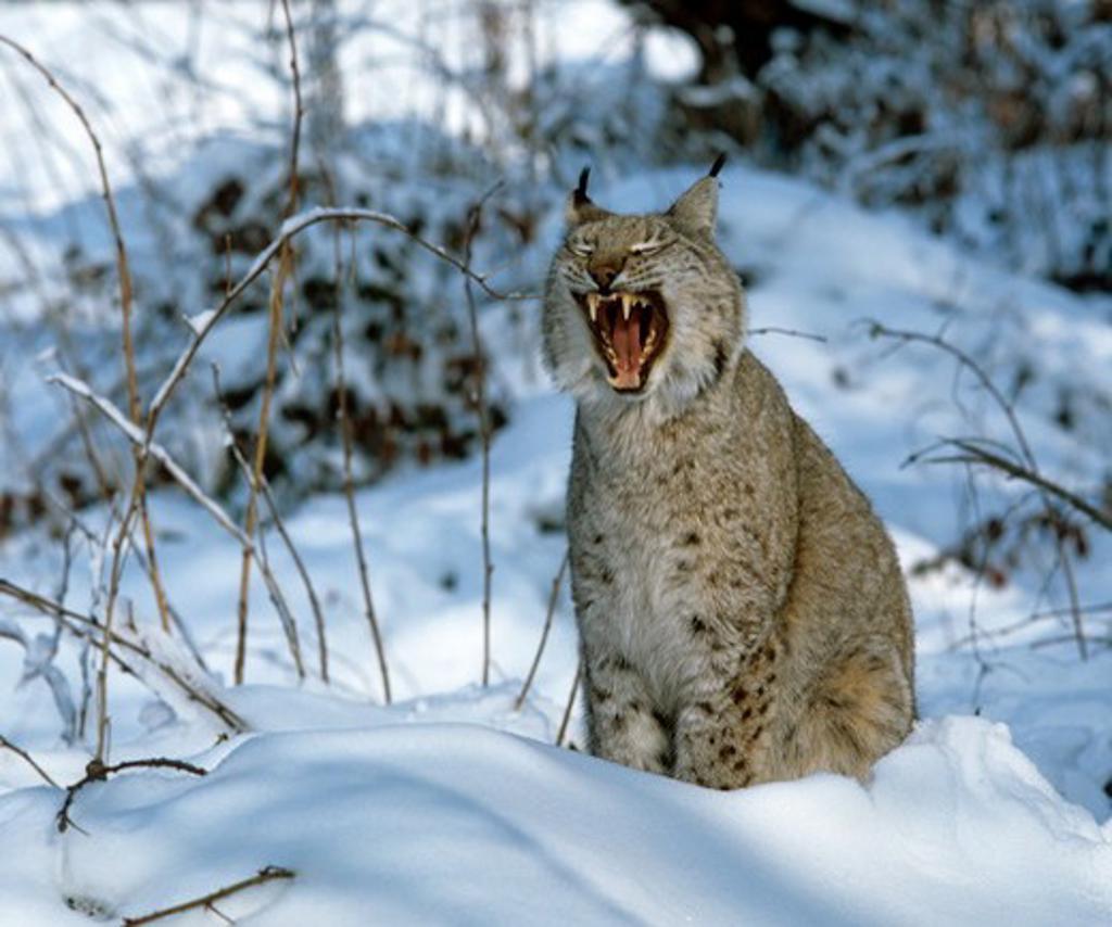 European Lynx, male, sitting in snow, yawning (Lynx lynx) Austria : Stock Photo