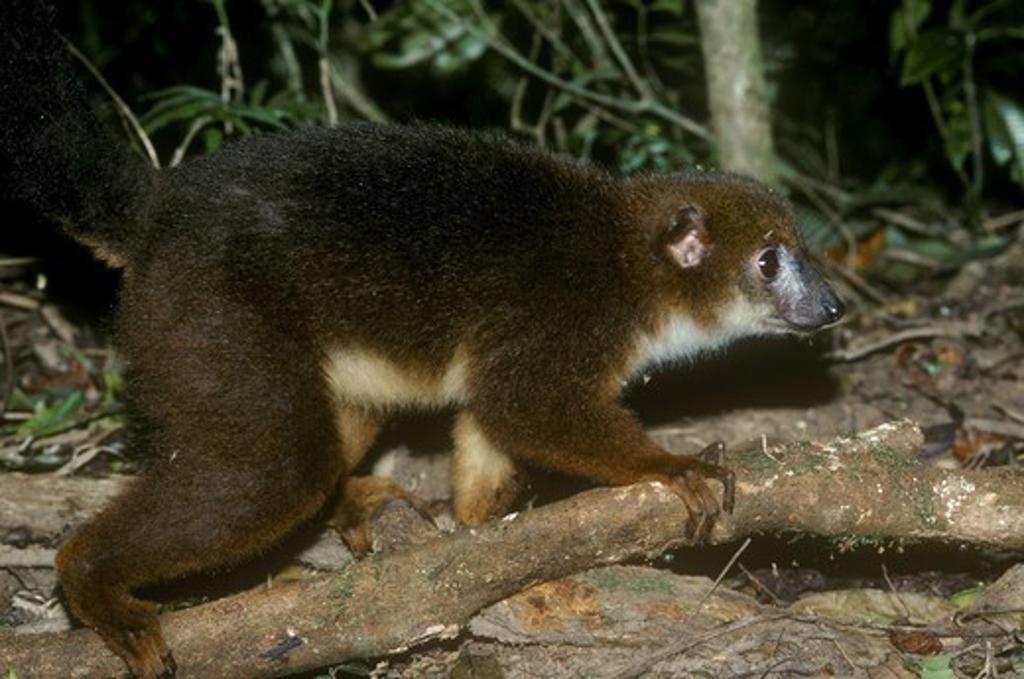 Stock Photo: 4179-23238 Red-bellied Lemur (Eulemur rubriventer), female, Ranomafana N.P., Madagascar
