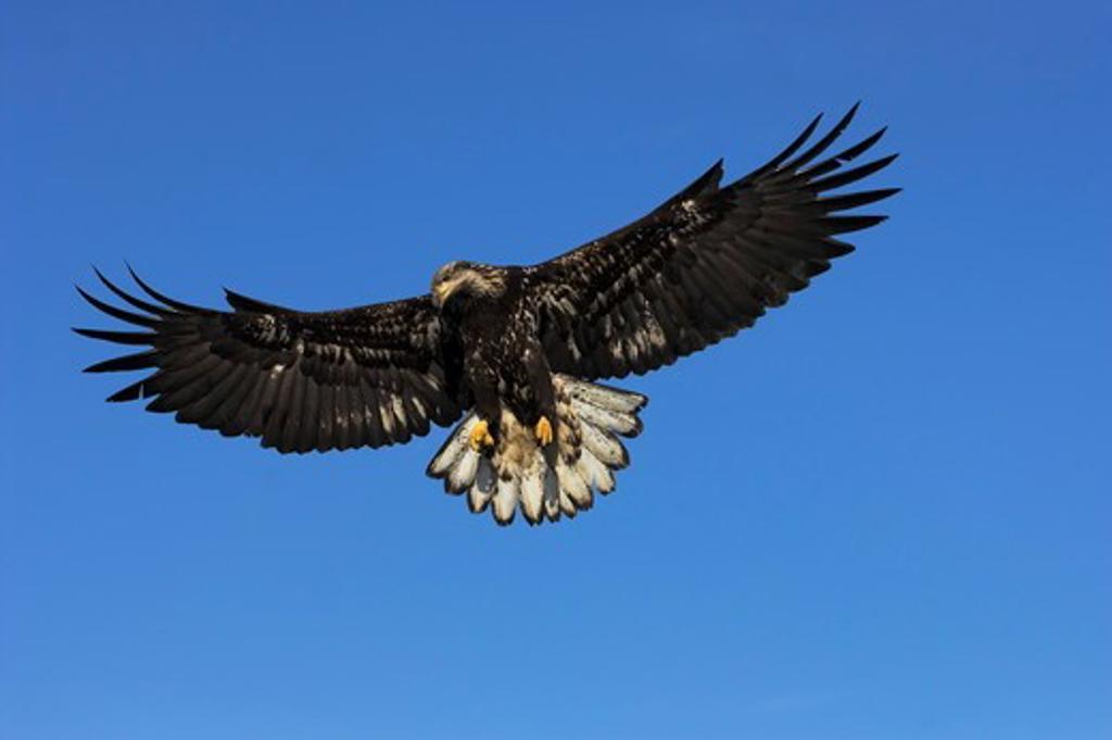Bald Eagle (Haliaeetus leucocephalus) immature, in flight, Homer, Alaska, 3/27/06, Digital Capture : Stock Photo